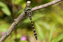 Vzácná lesní vážka páskovec dvouzubý