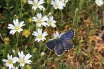 Modrásek rozchodníkový - Scolitantides orion , Lichnice, 13.4.2014