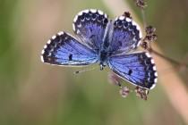 kde ve východních Čechách poletuje krásný modrásek rozchodníkový (Scolitantides orion)