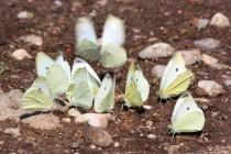Louky jsou plné motýlů - bělásek řepový