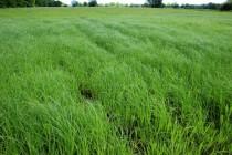 Zatopené louky s ostřicí připomínají rýžová pole