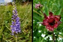 Ze zajímavějších rostlin tu kvete rozrazil dlouholistý a zábělník bahenní