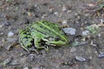Skokan zelený - Pelophylax ridibundus, Josefovské louky, 10.5.2014