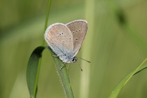 A společně s ním i vzácný modrásek lesní