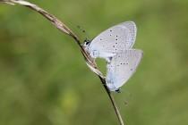 Poletuje tu drobounký modrásek nejmenší