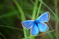 Nebo krásný modrásek ušlechtilý