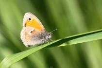 Okáč poháňkový - Coenonympha pamphilus