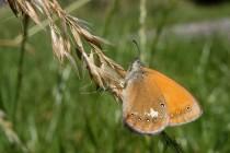 ... kde létají jen běžné druhy motýlů. Okáč třeslicový - Coenonympha glycerion