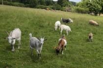 Balkán připomínají i zvířata, která se pasou u každé druhé chalupy