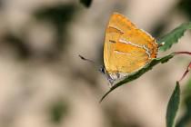 Oranžová - Ostruháček březový