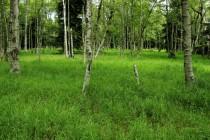 Po odchodu horalů zarostla část luk březovým lesem