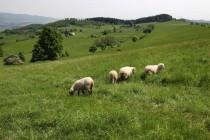 Ale na mnohých hospodaří dosídlenci z východu, u každé rodinné farmy kravka, ovce a kozy...