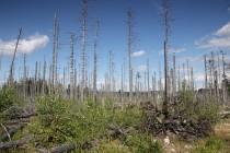 Bukový prales tu byl před třemi sty lety nahrazen smrčinou, která nedávno kvůli imisím a kůrovci začala ve velkém odumírat.