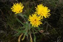 Roste tu například několik vzácných druhů z okruhu jestřábníku alpského