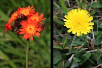 Jestřábník oranžový - Hieracium aurantiacum a jestřábník chlupáček - Hieracium pilosella, mateřské druhy jestřábníku červeného