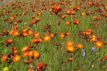 Jestřábník oranžový je ozdobou horských luk. Všechny rostliny v celé střední Evropě jsou klony jednoho rodiče.