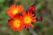 Jestřábník oranžový je jednou z našich nejhezčích horských květin. V druhé polovině 20. st. značně ustoupil, protože většina horských luk přestala byt obhospodařována tradičním způsobem.