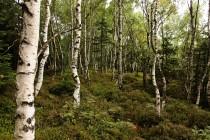 Březový les na hřebeni