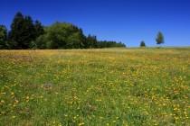 Úživné louky v Albeřickém údolí. Odlesněním, pastvou a kosením došlo v Krkonoších k vzájemnému projení naprosto odlišných typů lučních porostů...