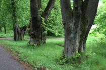 Kmeny těch nejstarších stromů jsou opravdu mohutné