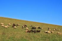 o kterou se dobře starají ovečky