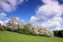 Kde na jaře krásně vykvétají plané višně