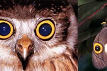 Soví oči na křídlech motýlů - podobnost nikoliv náhodná. foto- http://commons.wikimedia.org