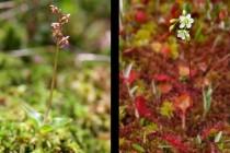 Velevzácná rašelinná orchidej bradáček srdčitý a běžnější rosnatka okrouhlolistá