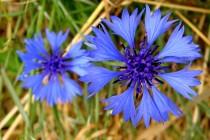 Spolu se zemědělstvím se k nám rozšířily i nové druhy stepních rostlin. Archeofyty -  polní plevele se staly ozdobou naší naší zemědělské krajiny... Chrpa polní - Centaurea cyanus