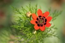 Hlaváček letní - krásný ale rychle ustupující polní plevel...