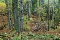 Cestou z Radkówa vede pěšina přes fragmenty krásné bučiny