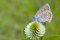 Modrásci mívají skvrny často ve dvou řadách, přičemž na vnitřní řadu jakoby byla pozornost naváděna šipkami - modrásek jehlicový