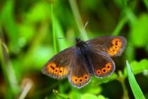 Dnes nejběžnější motýl vysokých Krkonoš tu ještě před sedmdesáti lety nežil