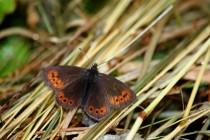 Okáč horský - dnes poletuje v Krkonoších i Hrubém Jeseníku. Ta Krkonošská populace byla ovšem založena uměle výsadkem padesáti samiček...