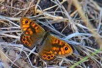 Okáč zední - jinak spíše nenápadný motýl, ale když občas roztáhne křídla...