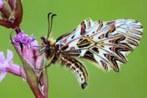 Z našich motýlů jsou nejpestřejší zástupci čeledi otakárkovitých - pestrokřídlec podražcový