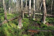 Oslabené smrky napadá kůrovec, les postupně odumírá. Jsme v rezervaci, všude tlejí padlé kmeny.