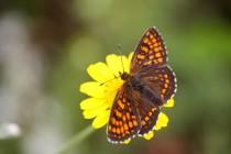 Hnědásek černýšový- Melitaea aurelia