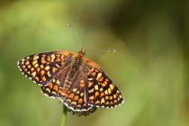 Hnědásek diviznový - krásný motýl teplomilných strání. V Česku už ho bohužel nepotkáme...