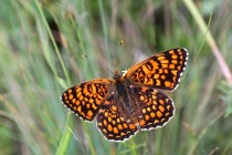 Lesostepní hnědásek diviznový - jeden z našich vyhynulých motýlů