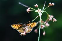 Hnědásek jitrocelový - Melitaea athalia