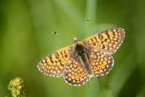 Hnědásek kostkovaný - Melitaea cinxia