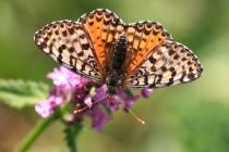 Hnědásek květelový - Melitaea didyma - samice, Černá hora- Belogradske jezero, 9.7.2012 IMG_0477