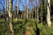 Uvolněný prostor rychle kolonizuje jako pionýrská dřevina bříza