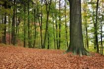 Stárkovské bučiny jsou krásné hlavně na podzim
