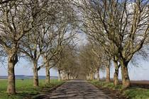 Nádherná alej vlašských ořechů lemuje cestu do zapomenuté obce Kozojedy