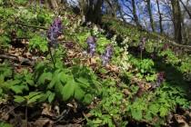 Na jaře pokrývají svahy valů koberce dymnivek a sasanek