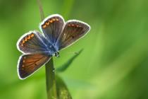 Modrásek tmavohnědý - Aricia agestis , Vysokov, 18.5.2015