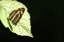 I vzácní motýli - bělopásek hrachorový