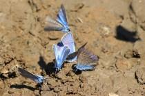 V blátě polních cest desítky modrásků, vesměs vzácných u nás ohrožených druhů
